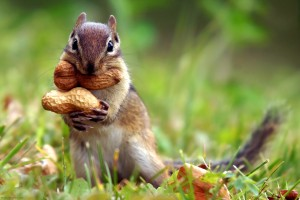Squirrel-and-Nut